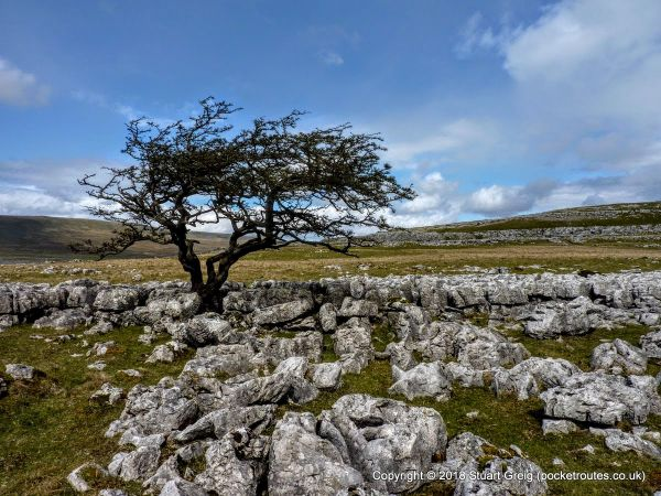 Twisted Tree on lower slopes of Whernside