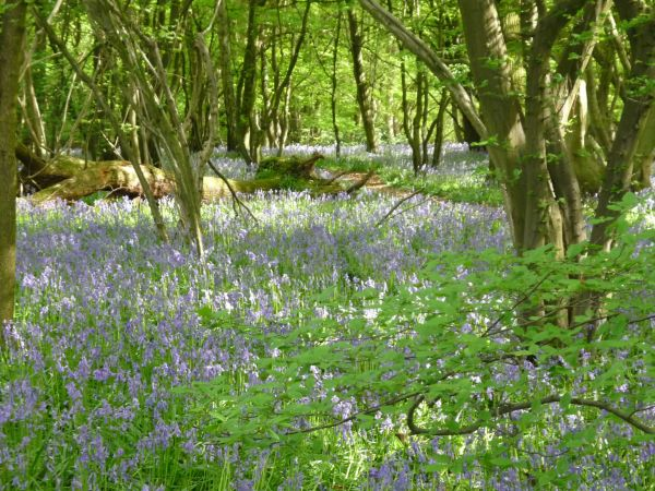 Bluebells in Coney Acre near Rickling Green