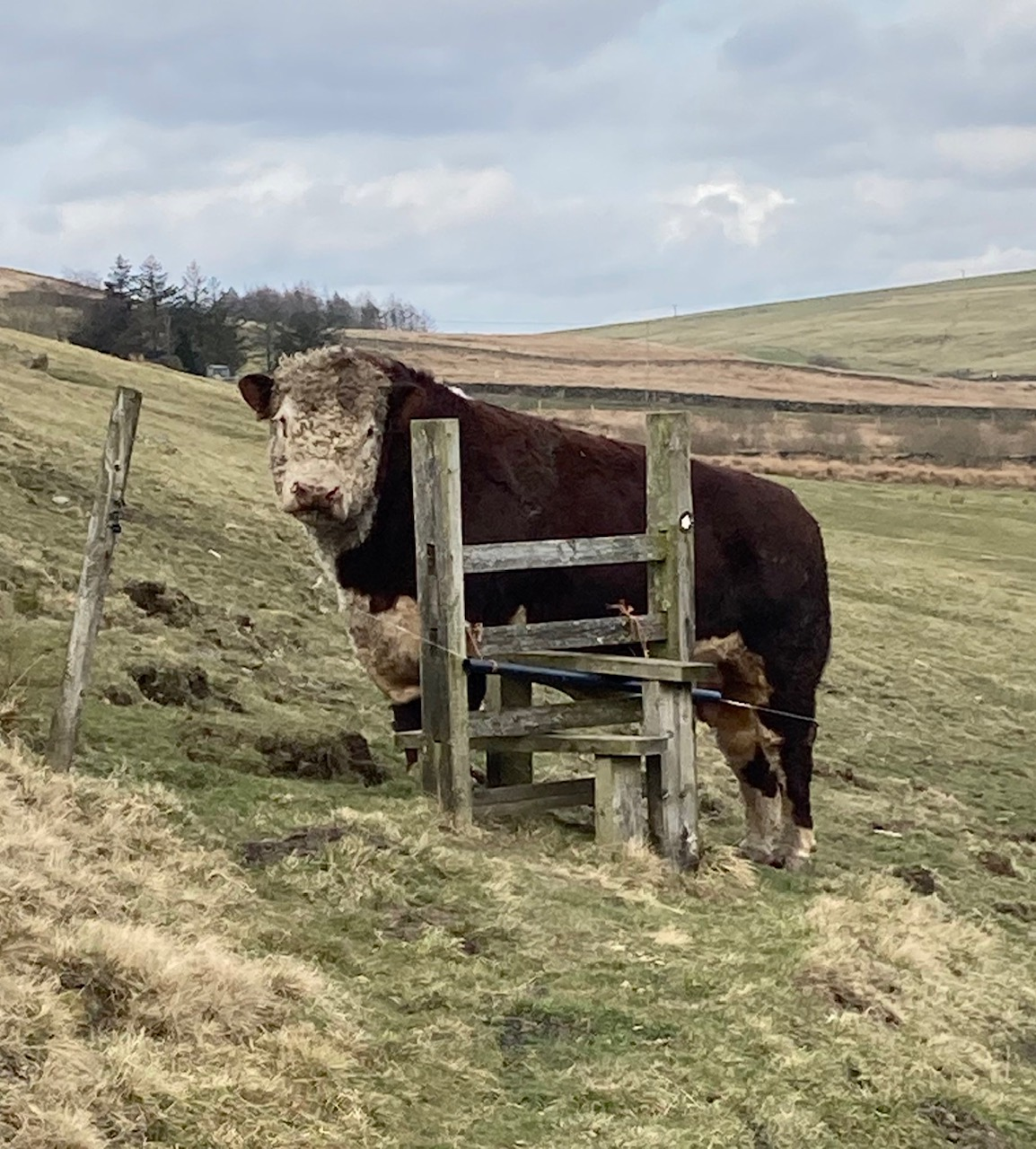 cow stuck in stile