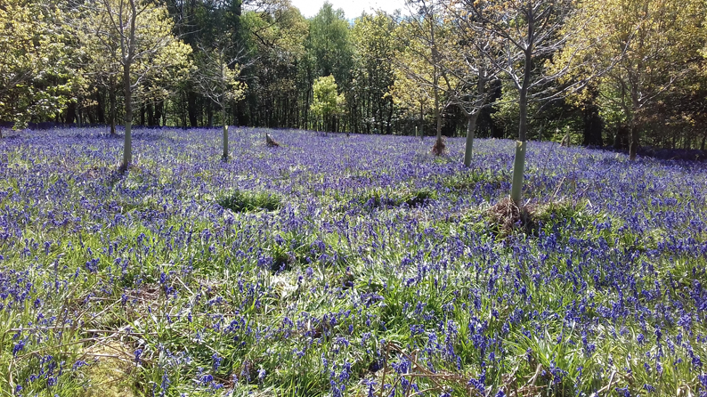 BLUEBELLS IN FLAKEBRIDGE WOOD