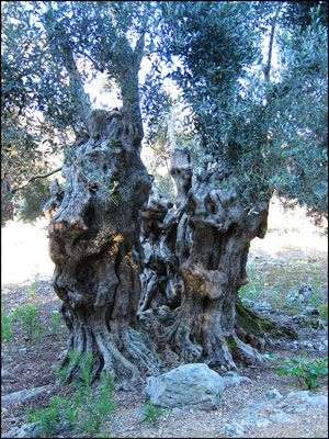 56. SOME OLIVE TREE