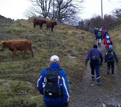 Passing Highland Cattle