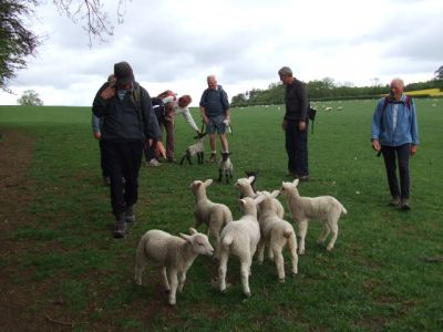 09 Lambs on The Wolds Way